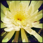 Mexican Cacti Flower | Amazingly beautiful